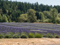 Lavender farm in bloom a large field of at a on san juan island washington Royalty Free Stock Photo