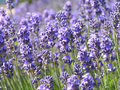 Lavender field Royalty Free Stock Images