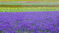 Lavender field and another flower field