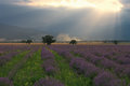 Lavender field a beautiful in bulgaria south of the balkan mountains romantic picture with blooming and amazing sunset Stock Image