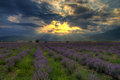 Lavender field a beautiful in bulgaria south of the balkan mountains romantic picture with blooming and amazing sunset Royalty Free Stock Photography