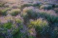 Lavender field beautiful in sevastopol crimea Stock Photography
