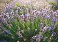 Lavender field beautiful in sevastopol crimea Royalty Free Stock Image