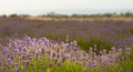 Lavender field beautiful in sevastopol crimea Royalty Free Stock Photos