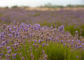 Lavender field beautiful in sevastopol crimea Royalty Free Stock Photo