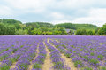 Lavender field and blue sky Royalty Free Stock Photo