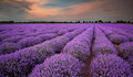 Lavender field fields of at sunset Stock Photo