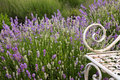 Lavender field flower background a of fragrant purple and white plants blooming near a white wrought iron bench in a garden in a Stock Images