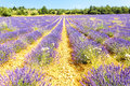 Lavender field landscape in a Stock Images
