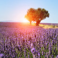 Lavender field. The plateau of Valensole Stock Photography