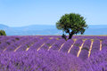 Lavender field the plateau of valensole in provence Royalty Free Stock Photography