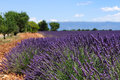 Lavender field the plateau of valensole in provence Royalty Free Stock Photos