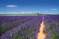 Lavender field the plateau of valensole in provence Stock Photography