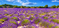 Lavender field in Provance Royalty Free Stock Photo