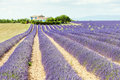Lavender field, Provence Royalty Free Stock Images