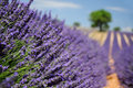 Lavender field in Provence, France Royalty Free Stock Image