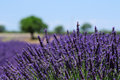 Lavender field in Provence, France Stock Images