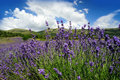 Lavender field in provence france Stock Photo