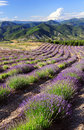 Lavender field in provence france Royalty Free Stock Photos