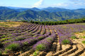 Lavender field in provence france Royalty Free Stock Image