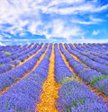 Lavender field in provence a france Stock Images