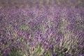 Lavender field in provence france lila Stock Image