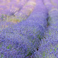 Lavender field in provence violet blossoms summer day Stock Images