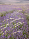 Lavender field in provence violet blossoms in summer day Royalty Free Stock Image