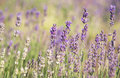 Lavender field purple flowers at soft background floral texture background on pastel colors wilde flowers on meadow in summertime Royalty Free Stock Images