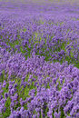 Lavender field with shallow depth of field Royalty Free Stock Image