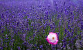 Lavender field with single pink poppy Stock Images