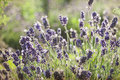 Lavender in the field summer Royalty Free Stock Images