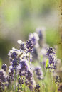 Lavender in the field summer Royalty Free Stock Photography