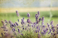 Lavender in the field summer Stock Photography