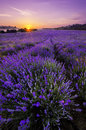 Lavender field sunset over in bulgaria Stock Photography