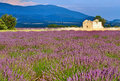 Lavender field at sunset in provence france Stock Photos