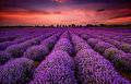 Lavender field at sunset Royalty Free Stock Photo