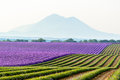 Lavender Field Surrounded By M...
