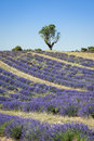 Lavender field with a tree, Provence Royalty Free Stock Photo