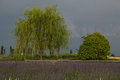 Lavender field under summer storm Royalty Free Stock Photo