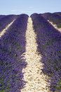 Lavender field in valensole the famous fields the plateau provence france Royalty Free Stock Image