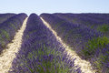 Lavender field in valensole the famous fields the plateau provence france Royalty Free Stock Photos
