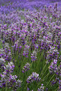 Lavender Field Vertical Far Royalty Free Stock Image
