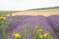 Lavender field, with yellow daisies in the foreground. Royalty Free Stock Photo