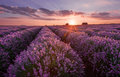 Lavender fields. Beautiful image of lavender field. Summer sunset landscape, contrasting colors. Dark clouds, dramatic sunset. Royalty Free Stock Photo