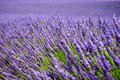 Lavender fields in the Provence Royalty Free Stock Photo