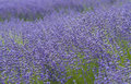Lavender Fields, San Diego County, California Royalty Free Stock Photo