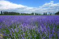Lavender fields in summer under blue sky Stock Photos