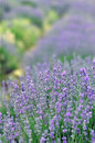 Lavender filed photo taken in a field Stock Photography