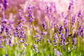 Lavender floral background close up Stock Images